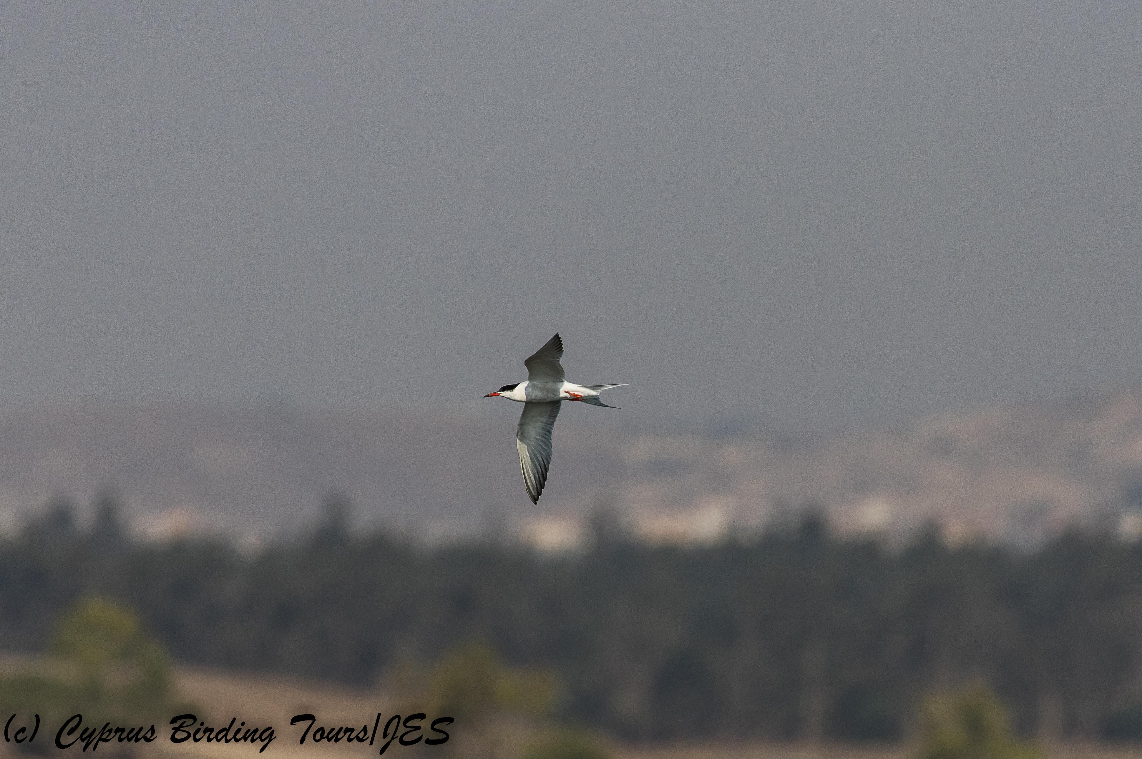 Common Tern, Larnaca Sewage Works, 20th July 2018 (c) Cyprus Birding Tours