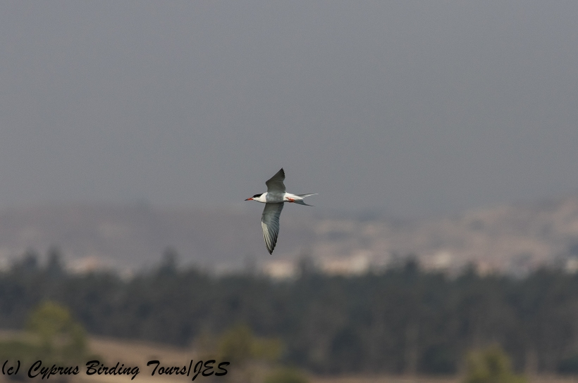 Common Tern, Larnaca Sewage Works, 20th July 2018 (c) Cyprus Birding Tours