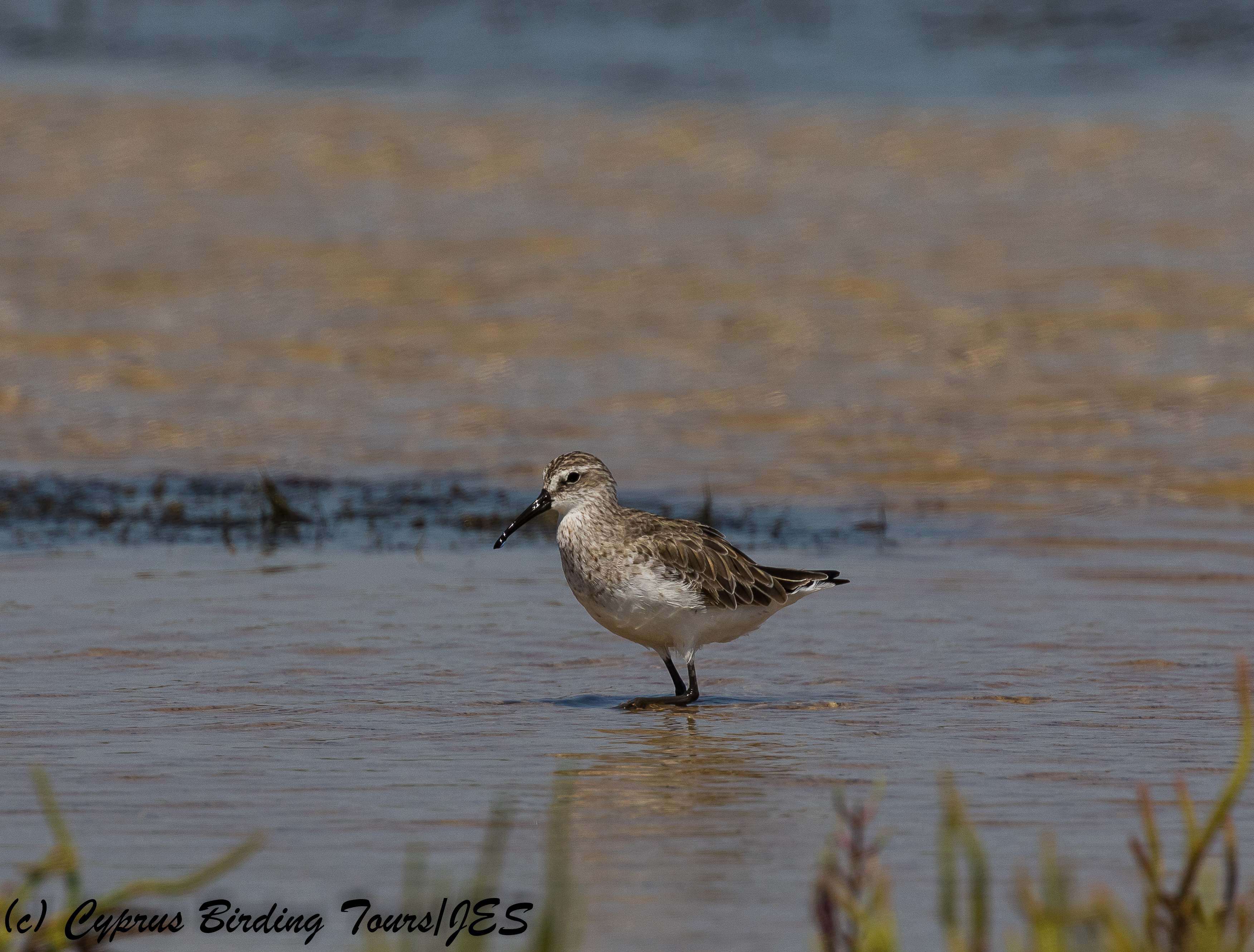 Curlew Sandpiper non-breeding plumage, ASL, 6th July 2018 (c) Cyprus Birding Tours