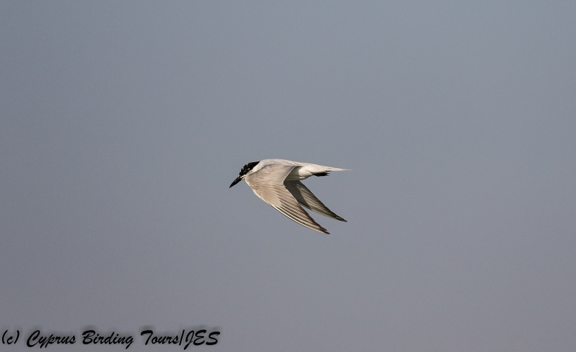 Gull-billed Tern, Larnaca Sewage Works, 30th July 2018 (c) Cyprus Birding Tours