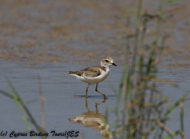 Kentish Plover juvenile, Akrotiri Salt Lake, 6th July 2018 (c) Cyprus Birding Tours