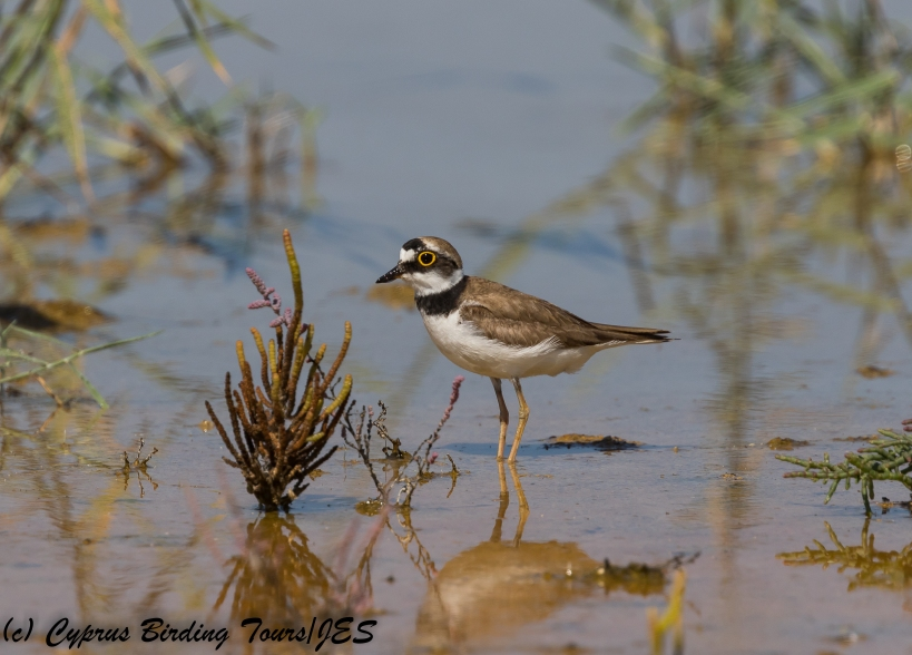 Little Ringed Plover, Akrotiri Salt Lake, 6th July 2018 (c) Cyprus Birding Tours