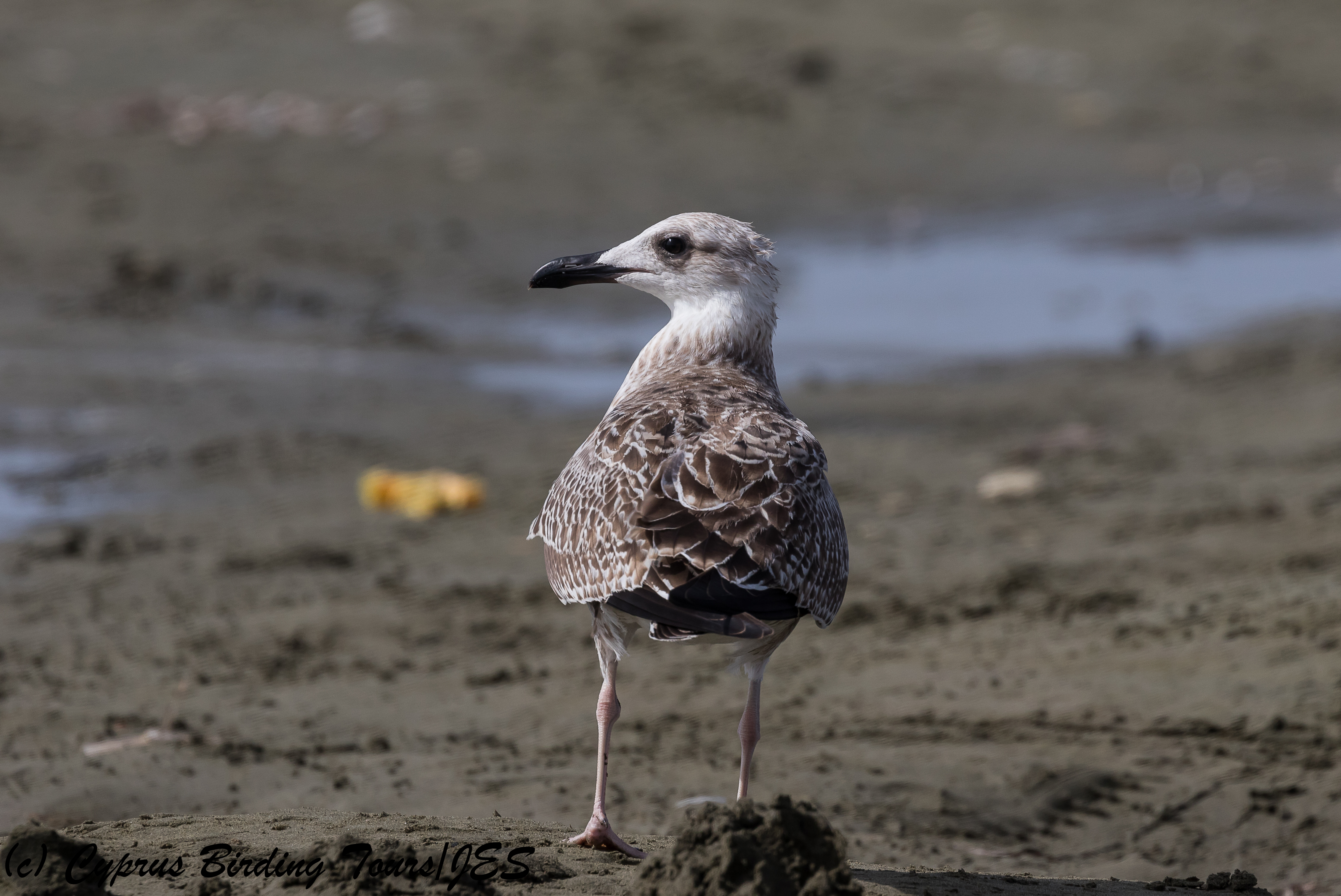 Yellow-legged Gull, Spiros Beach, 25th July 2018 (c) Cyprus Birding Tours