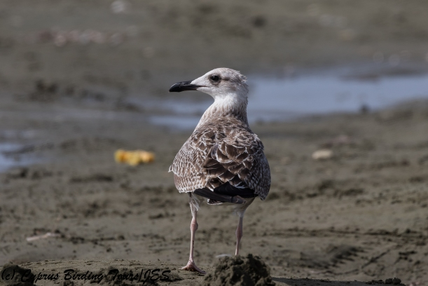 Yellow-legged Gull, Spiros Beach, 25th July 2018 (c) Cyprus Birding Tours