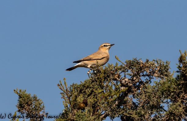 Isabelline Wheatear, Agia Napa Sewage Works, 9th August 2018 (c) Cyprus Birding Tours