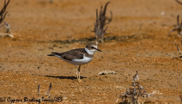 Little Ringed Plover juv, Akrotiri 8th August 2018 (c) Cyprus Birding Tours