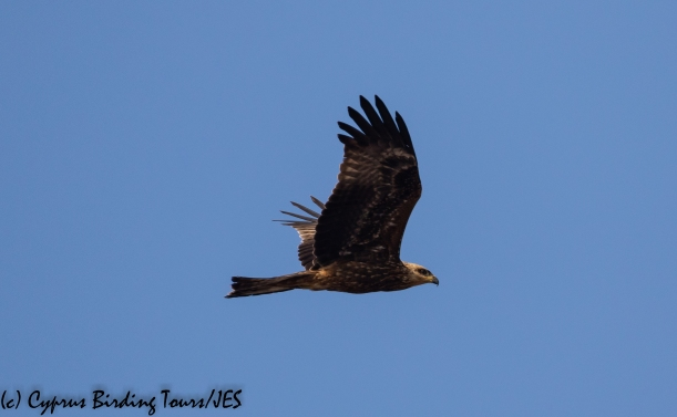 Black Kite, Cape Greco 13th September 2018 (c) Cyprus Birding Tours