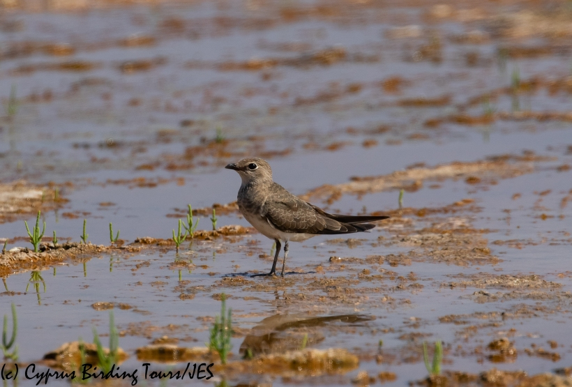 Collared Pratincole, Akrotiri Salt Lake 5th September 2018 (c) Cyprus Birding Tours