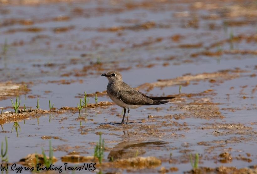 Collared Pratincole, Akrotiri Salt Lake 5th September 2018 (c) Cyprus Birding Tours