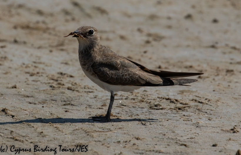 Collared Pratincole 4, AKrotiri Salt Lake 5th September 2018 (1 of 1)