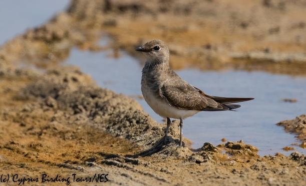 Collared Pratincole 8, AKrotiri Salt Lake 5th September 2018 (1 of 1)