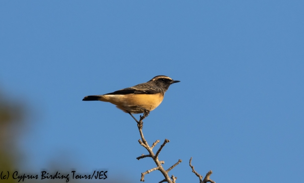 Cyprus Wheatear, Droushia 8th September 2018 (c) Cyprus Birding Tours