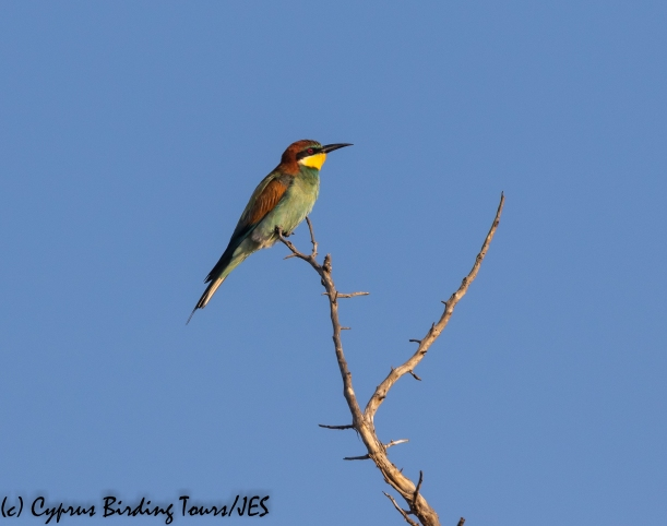 European Bee-eater, Arodes 9th September 2018 (c) Cyprus Birding Tours