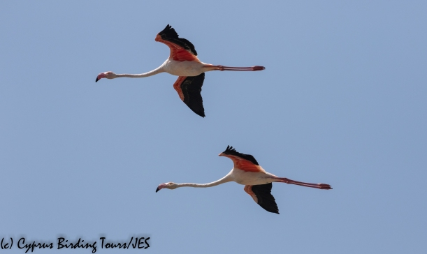 Greater Flamingo, Larnaca Sewage Works 15th September 2018 (c) Cyprus Birding Tours
