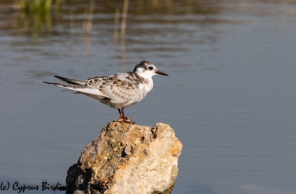Whiskered Tern , Achna Dam 25th September 2018 (c) Cyprus Birding Tours