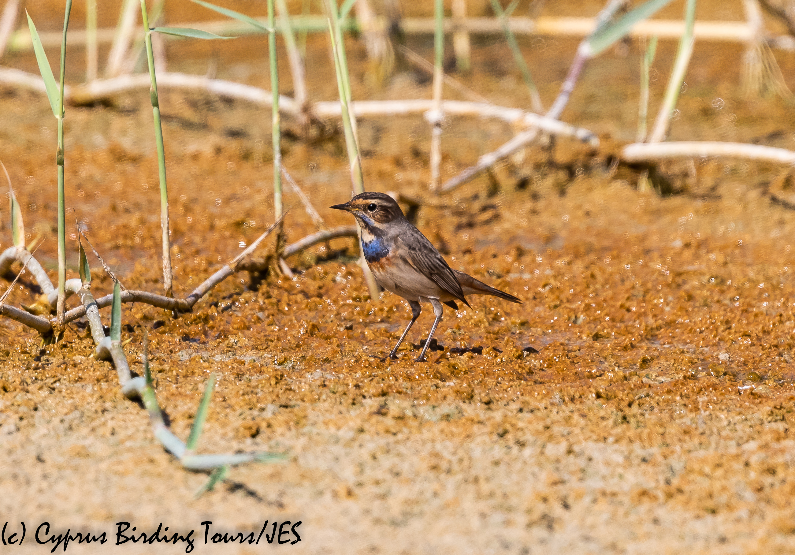 Bluethroat, Akrotiri Salt Lake 14th October 2018 (c) Cyprus Birding Tours