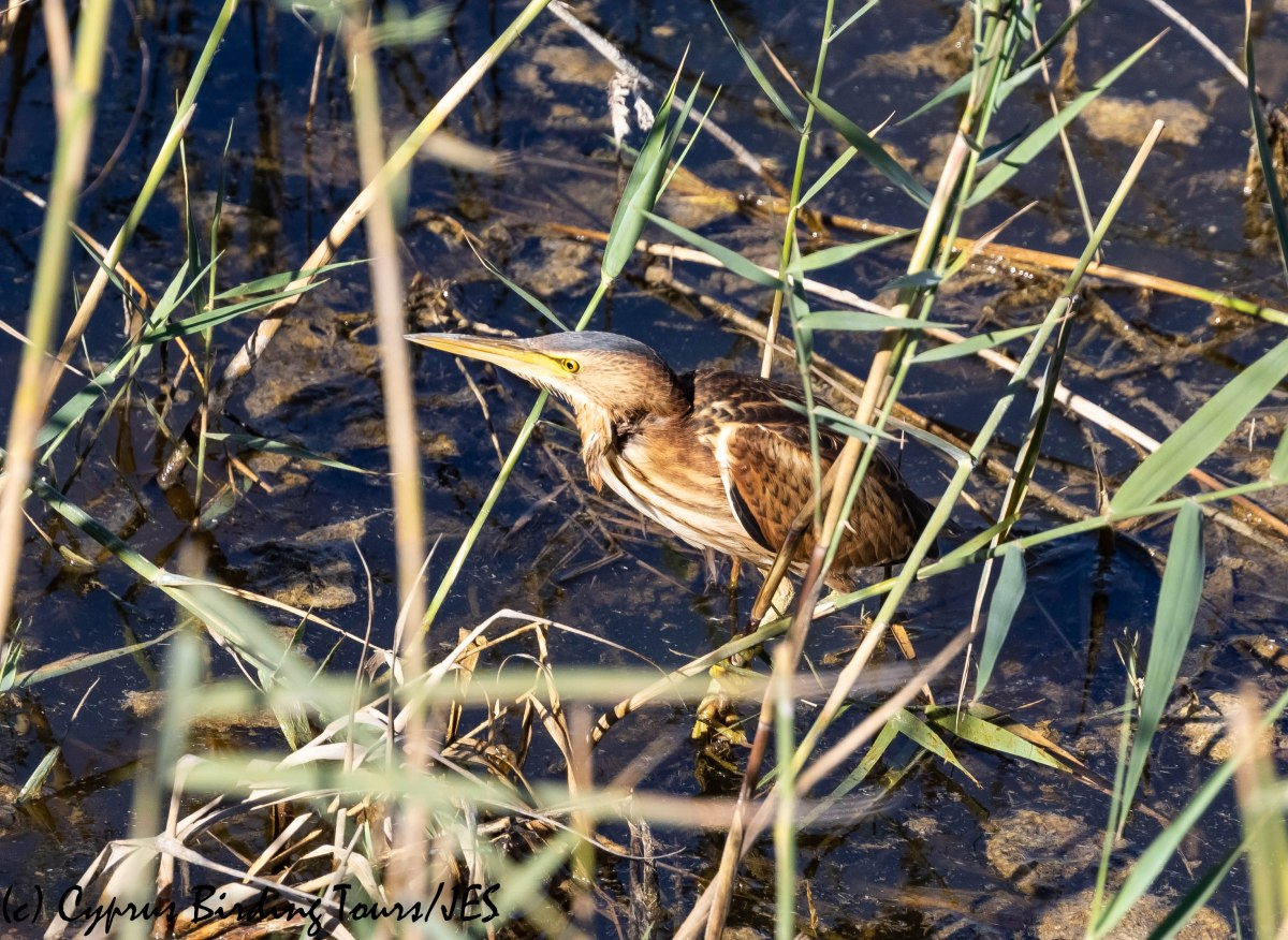 Little Bittern, Phasouri 29th October 2018 (c) Cyprus Birding Tours