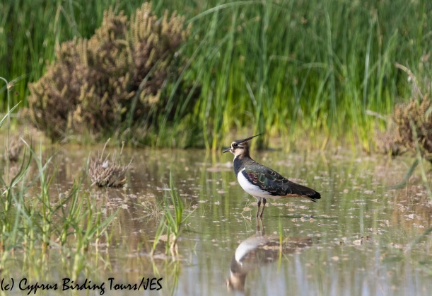 Northern Lapwing, Akrotiri Salt Lake, 9th October 2018 (c) Cyprus Birding Tours