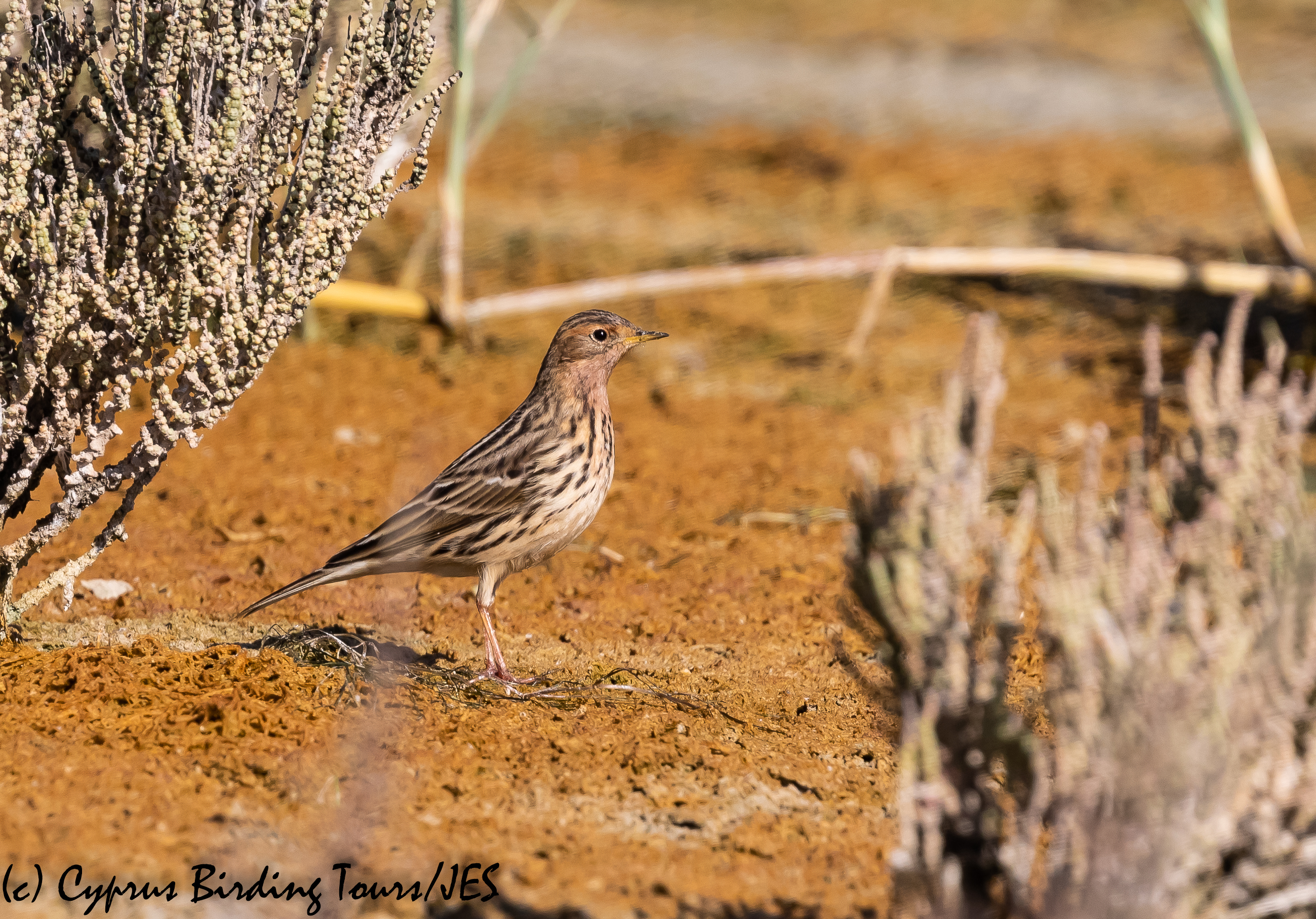 Red-throated Pipit, Akrotiri Salt Lake 14th October 2018-1