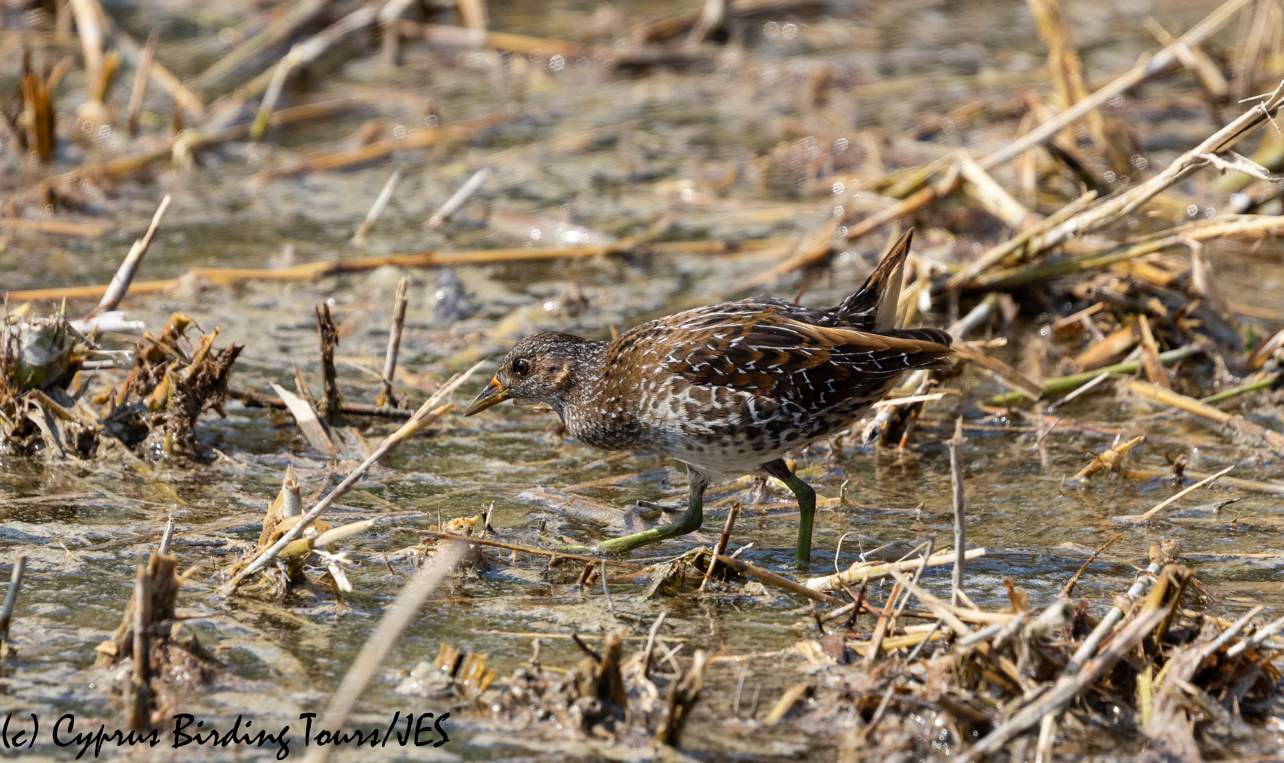 Spotted Crake, Zakaki Marsh 9th October 2018 (c) Cyprus Birding Tours