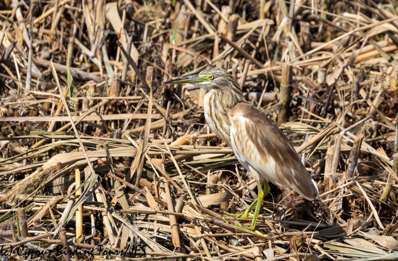 Squacco Heron, Zakaki Marsh, 14th October 2018-1
