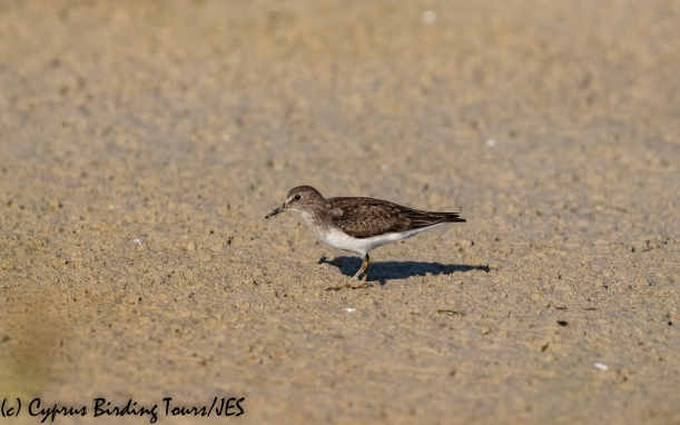 Temminck's Stint, Akrotiri Salt Lake 14th October 2018-1