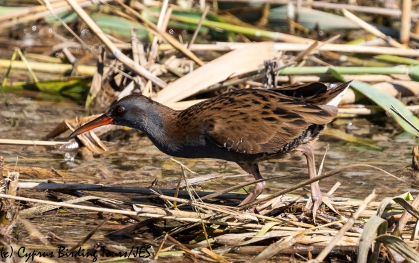 Water Rail, Zakaki Marsh, 14th October 2018-1