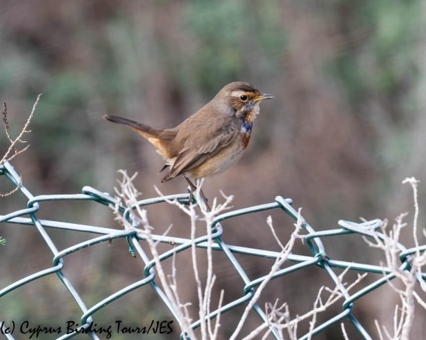 Bluethroat, LSW 19th November 2018 (c) Cyprus Birding Tours