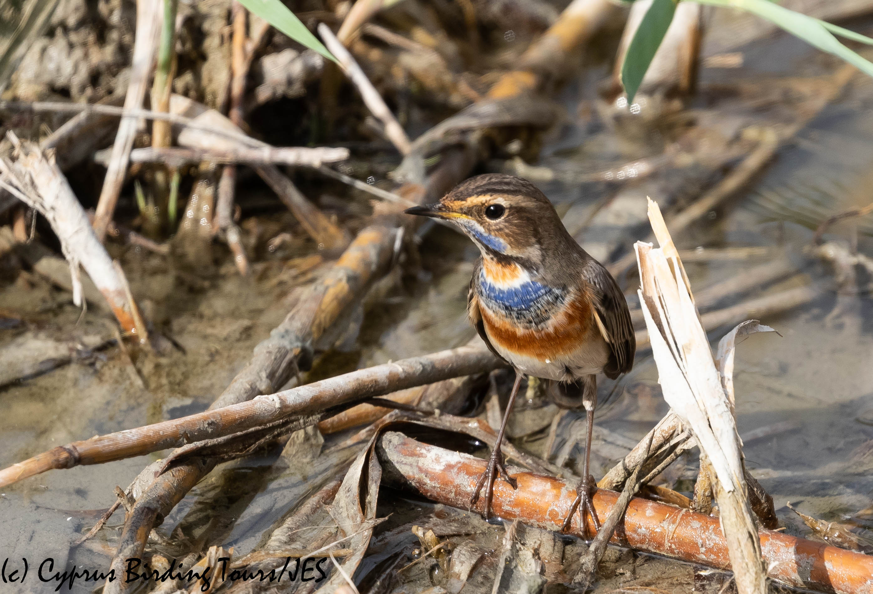 Bluethroat, Zakaki 23rd November 2018 (c) Cyprus Birding Tours
