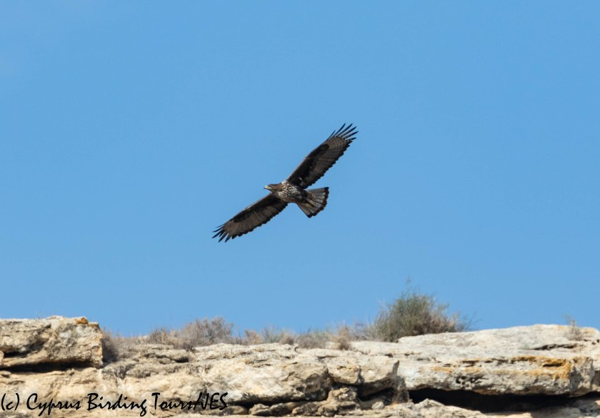 Bonelli's Eagle, Agios Sozomenos 8th November 2018 (c) Cyprus Birding Tours