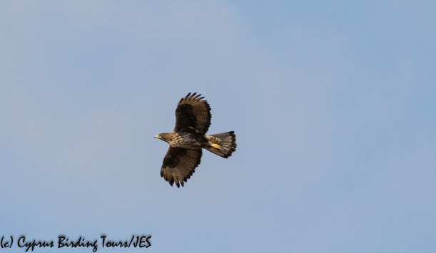 Bonelli's Eagle 3, Agios Sozomenos 8th November 2018 (1 of 1)