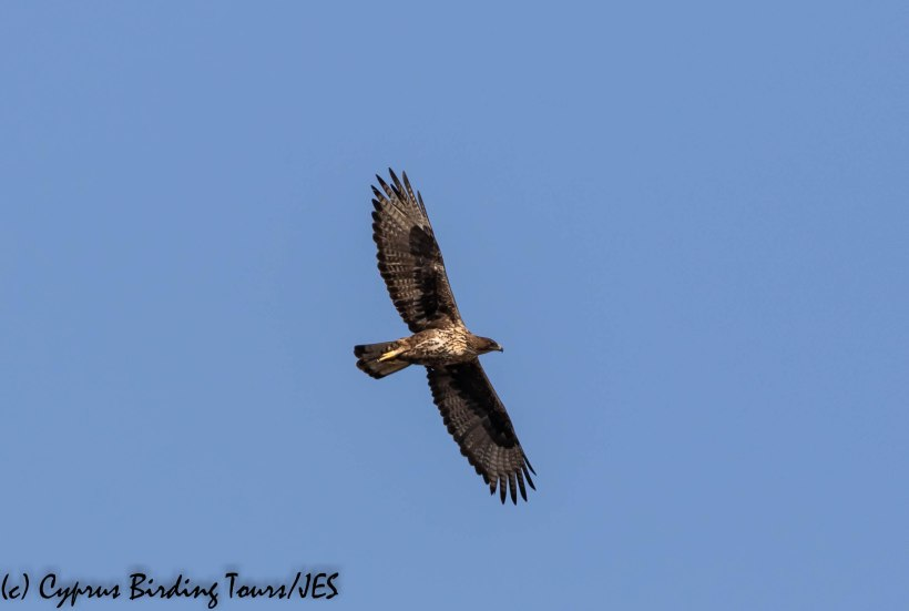 Bonelli's Eagle 4, Agios Sozomenos 8th November 2018 (1 of 1)