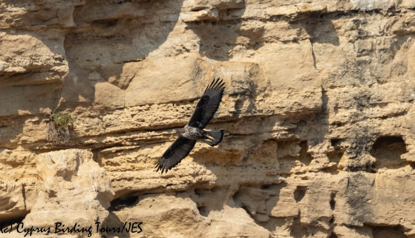 Bonelli's Eagle, Agios Sozomenos 8th November 2018 (1 of 1)