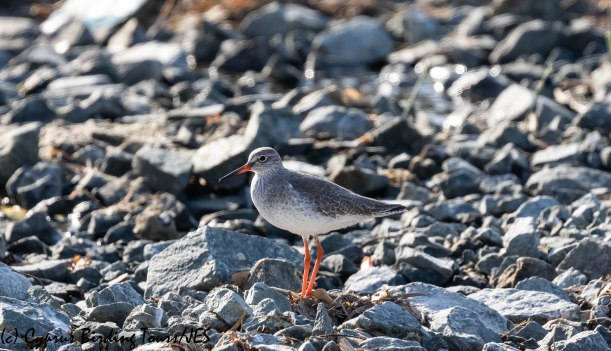 Common Redshank, LSL, 19th November 2018 (1 of 1)
