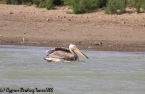Great White Pelican 2, Akhna Dam, 3rd November 2018 (1 of 1)