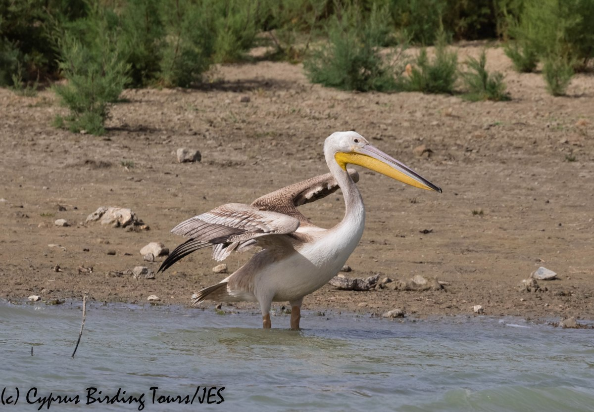 Great White Pelican, Akhna Dam, 3rd November 2018 (c) Cyprus Birding Tours