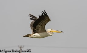 Great White Pelican 5, Akhna Dam, 3rd November 2018 (1 of 1)