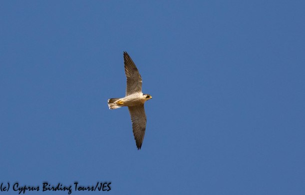 Peregrine Falcon, Agios Sozomenos 8th November 2018 (1 of 1)
