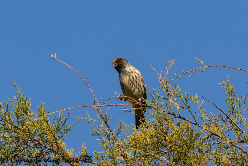Red-fronted Serin 3, Limassol 2nd November 2018 (1 of 1)