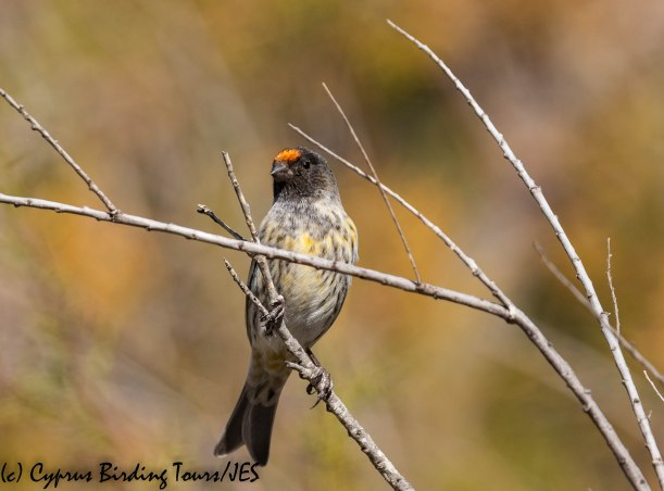 Red-fronted Serin 5, Limassol 2nd November 2018 (1 of 1)