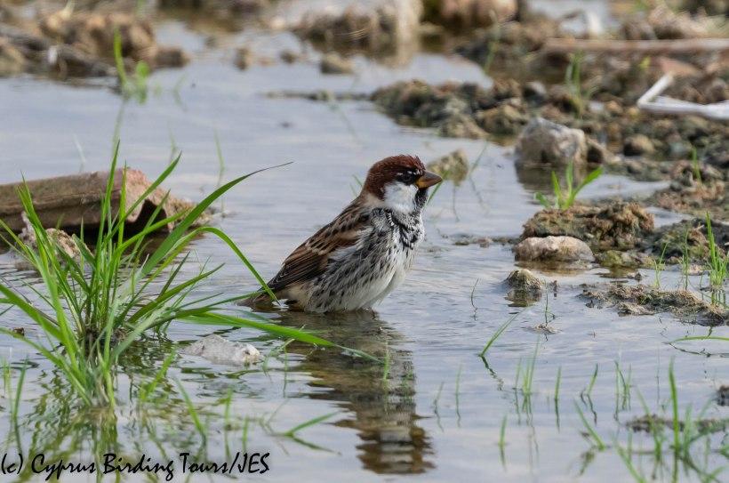 Spanish Sparrow, Nicosia 28th November 2018 (c) Cyprus Birding Tours