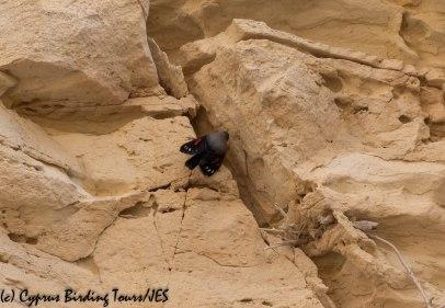 Wallcreeper, Avakas Gorge 20th November 2018 (c) Cyprus Birding Tours