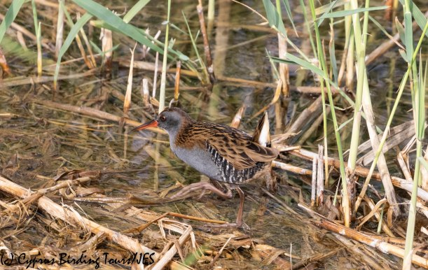 Water Rail, Zakaki 23rd November 2018 (c) Cyprus Birding Tours