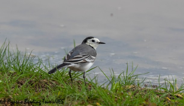 White Wagtail, Nicosia 28th November 2018 (c) Cyprus Birding Tours