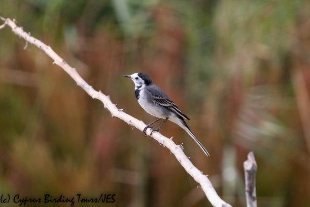 White Wagtail, Zakaki 23rd November 2018 (c) Cyprus Birding Tours