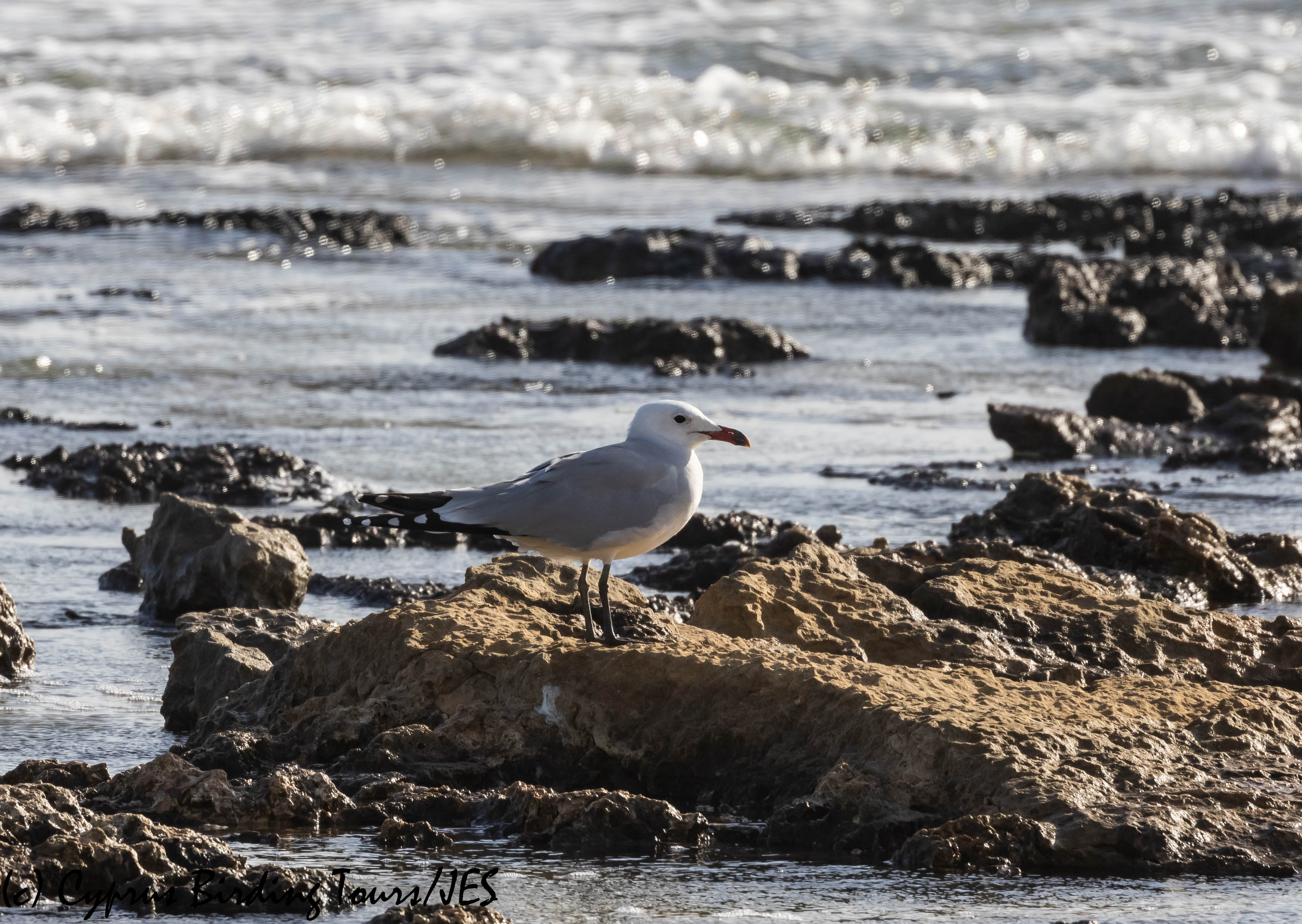 Audouin's Gull, Kermia Beach 11th December 2018 (c) Cyprus Birding Tours
