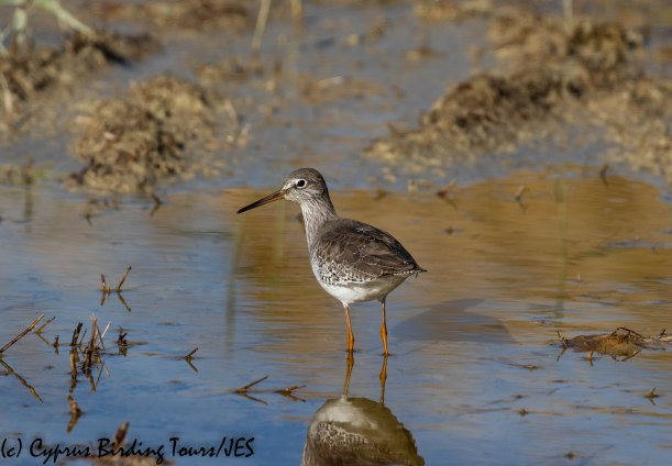 Common Redshank, Oroklini Marsh 11th December 2018 (c) Cyprus Birding Tours