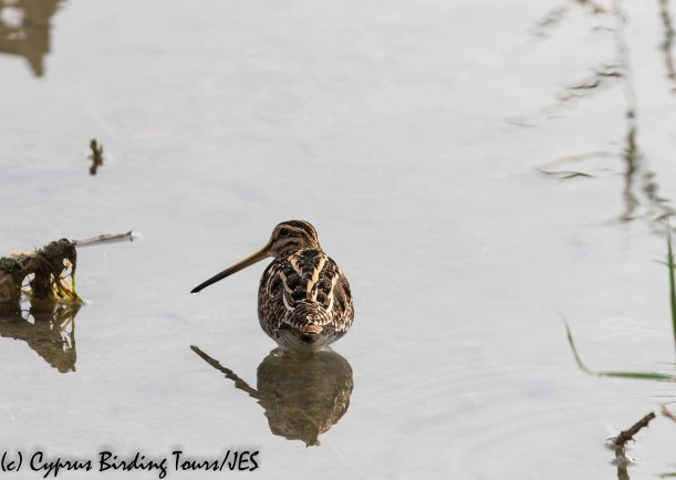 Common Snipe, Larnaca 5th December 2018 (c) Cyprus Birding Tours