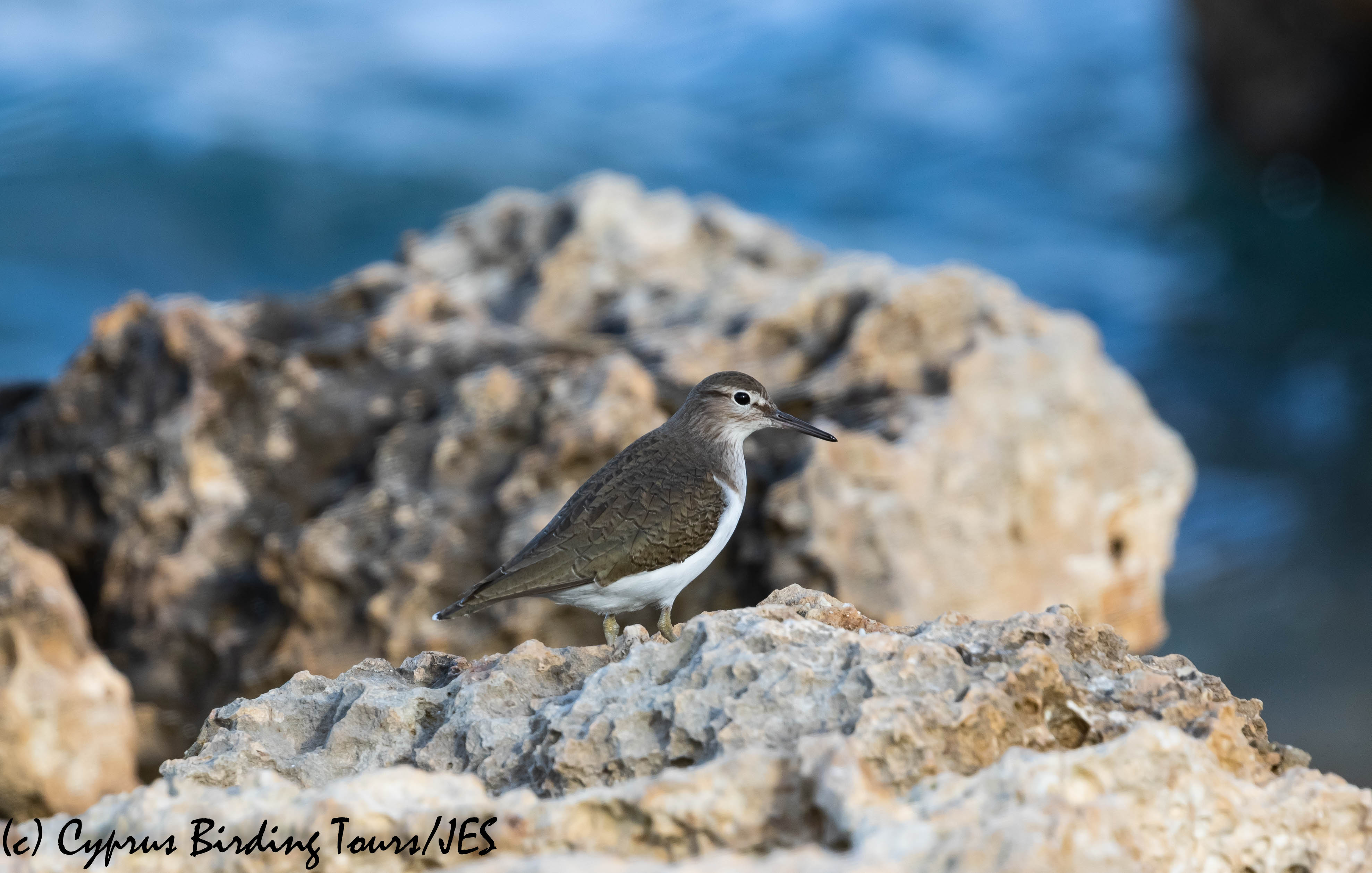 Common Sandpiper, Potamos Liopetriou, 5th January 2019 (c) Cyprus Birding Tours