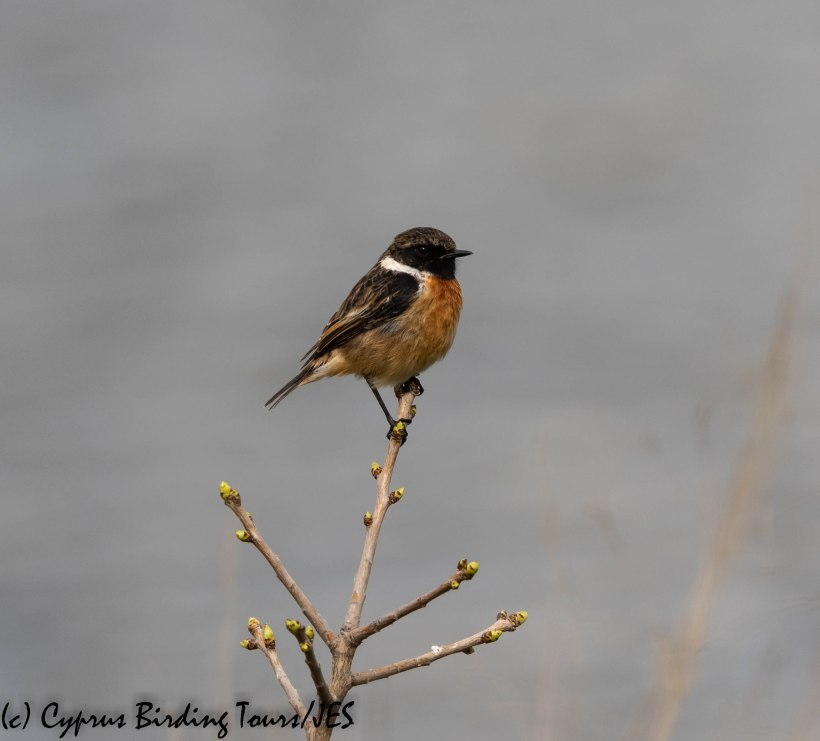 european stonechat, germasogeia, 29th january 2019 (1 of 1)